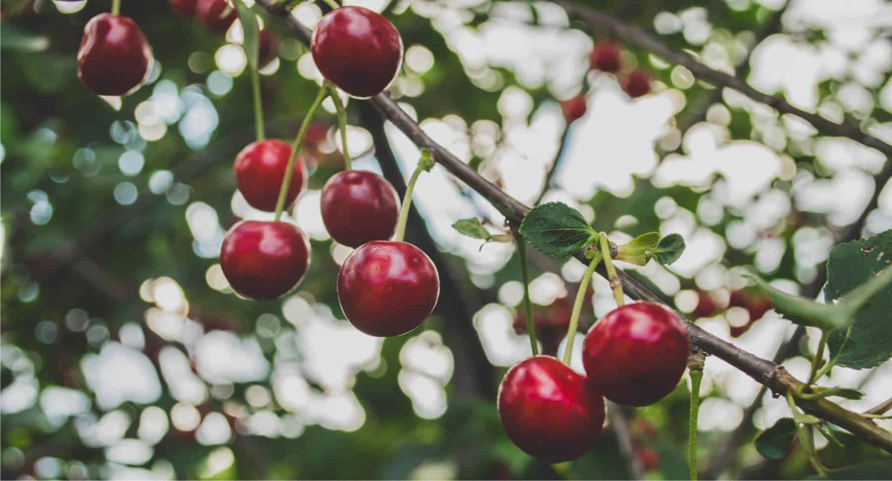 ramo di ciliegio con frutti