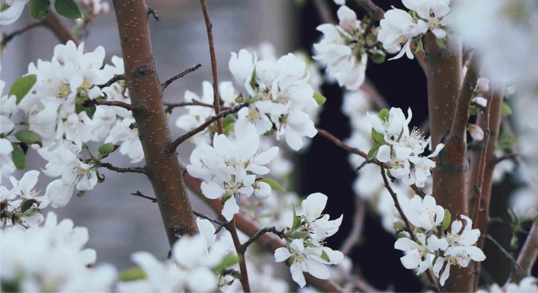 fiori sul ramo