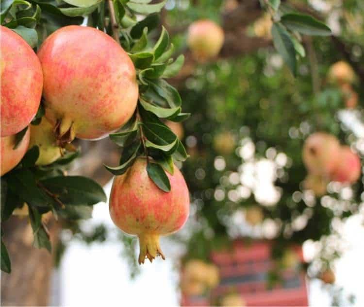 Alberi da frutto for Piante da frutto kiwi