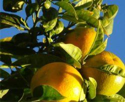 arance sui rami