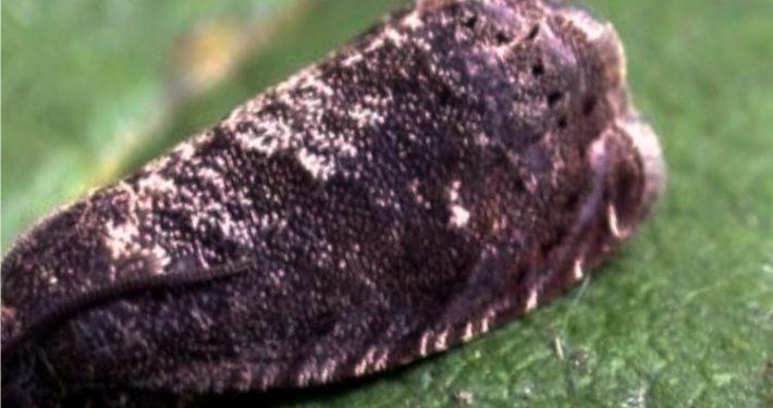 larva di tignola
