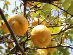 limoni sull'albero