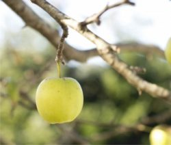 la potatura del melo