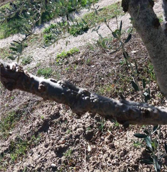 ramo colpito da rogna