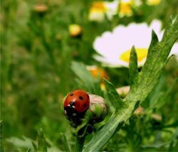 biodiversità e coccinelle