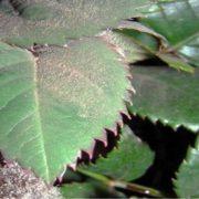 botrite sulle foglie