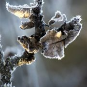 il freddo di gennaio gela il ramo
