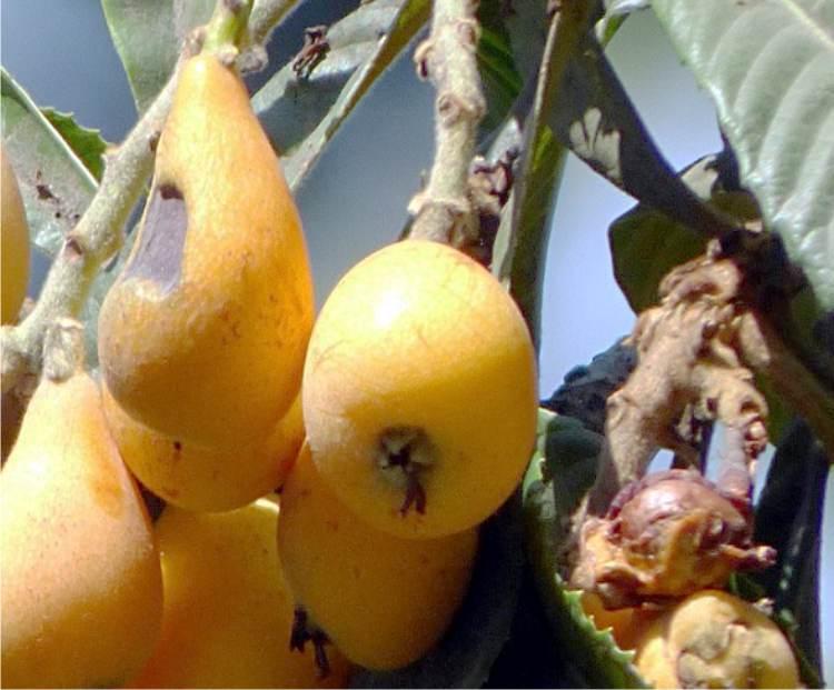 Calendario Trattamenti Nespolo.Ticchiolatura Del Nespolo Frutti Macchiati Di Nero