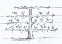 pianta allevata a palmetta