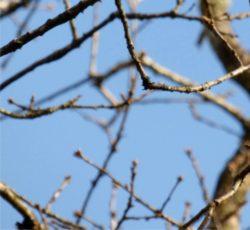 rami a febbraio senza foglie