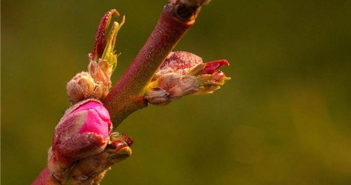 gemme del pesco in primavera