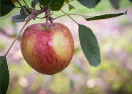 meleto ramo fruttifero