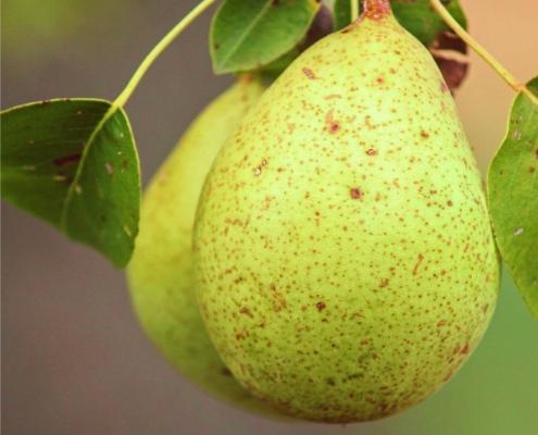 pianta di pere