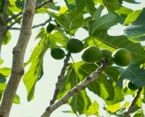 albero del fico