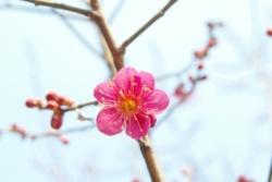 fiore di pruno