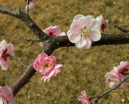 ramo di susino con fiori