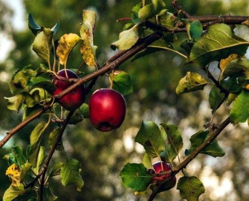 insetti parassiti del melo