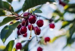 le ciliegie su albero adulto potato