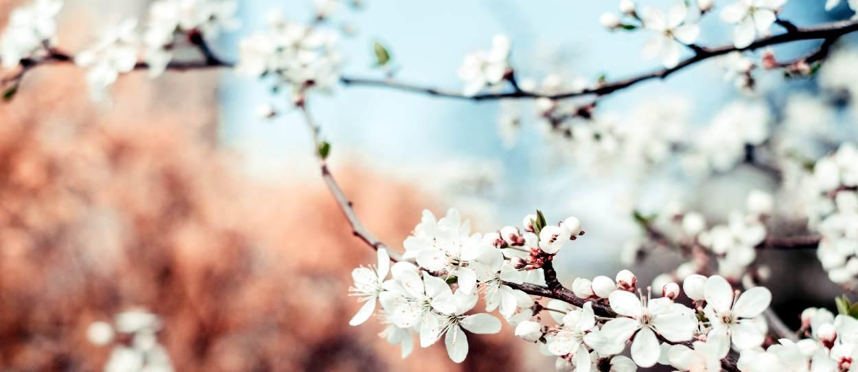 ciliegio potato che fiorisce