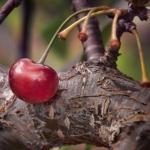 La potatura del ciliegio