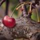 mazzetto di maggio nel ciliegio