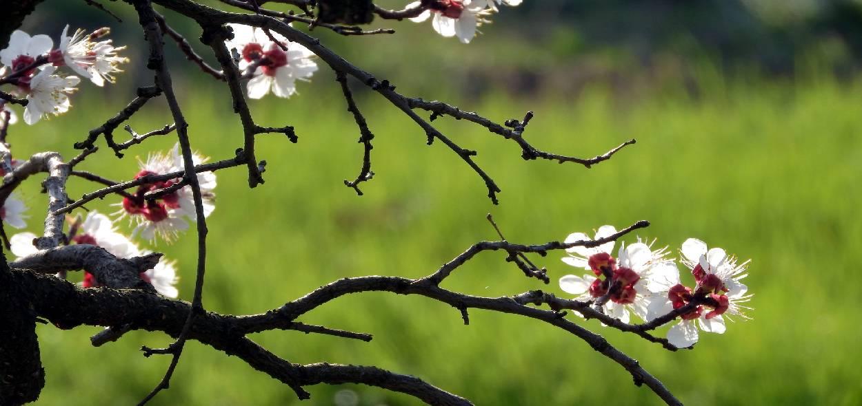 albicocco in primavera