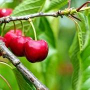 pianta di ciliegie