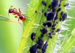 colonia di afidi parassiti delle piante