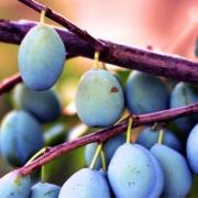 prugne coltivate con metodo bio