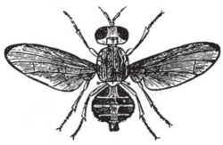 mosca dell'olivo dacus oleae