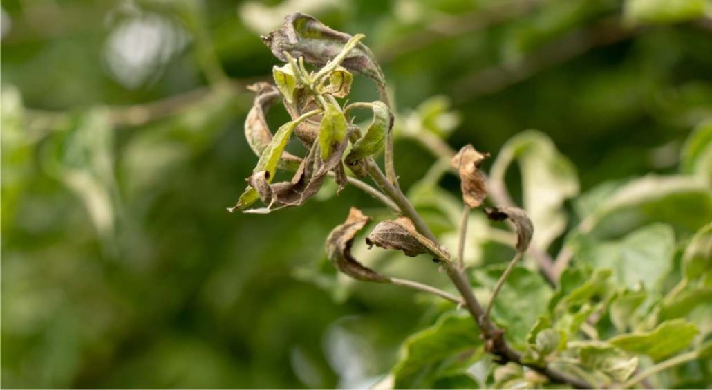 malattie frutteto